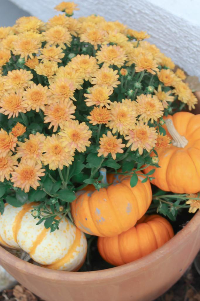 Pumpkins in Mums